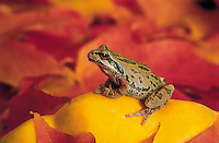 Pacific Tree Frog..Pacific Northwest..Autumn. Hyla regilla..