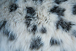 Snow Leopard (Panthera uncia) male fur, Sarychat-Ertash Strict Nature Reserve, Tien Shan Mountains, eastern Kyrgyzstan