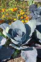 Cabbage and marigolds growing, companion planting of vegetable and flowers in garden