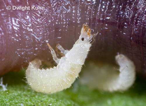 1C24-613z   Firefly Larva eating worm - Lightning Bug - one day old young - Photuris spp.