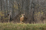 White-tailed buck in search of does.