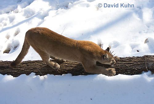 0218-1002  Mountain Lion (Cougar) in Snow, Puma concolor (syn. Felis concolor)  © David Kuhn/Dwight Kuhn Photography.
