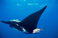black jack, Caranx lugubris, approaches giant oceanic manta ray, Mobula birostris, formerly Manta birostris, at cleaning station to pick off parasites, San Benedicto, Revillagigedos (Socorro) Islands, Mexico, Pacific Ocean