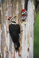 Pileated Woodpecker (Dryocopus pileatus), male feeding young in cavity, Neuse River, Raleigh, Wake County, North Carolina, USA