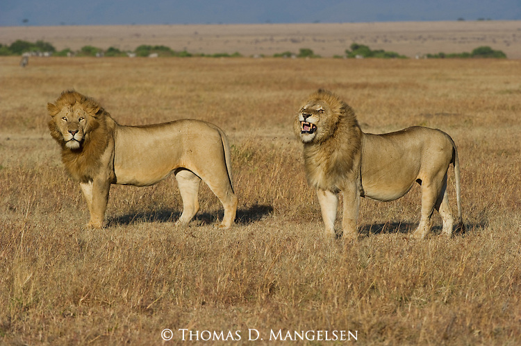 Two lions hunt on the Maasai Mara plains in Kenya.