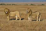 Two lions hunt on the Maasai Mara plains in Kenya.
