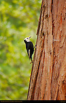 White-Headed Woodpecker female in Spring, Picoides albolarvatus, North Pines, Yosemite National Park