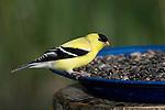 Male American goldfinch (Carduelis tristis) eating birdseed