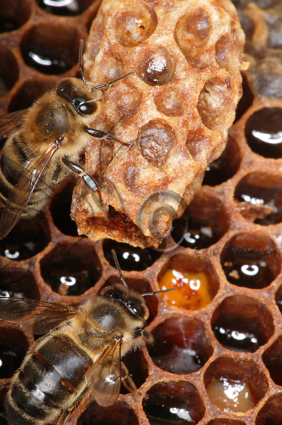 Two nurse bees watch over a queen larva in its cell.