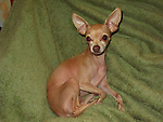 Chihuahua Roxy dob April 2007 5lbs female