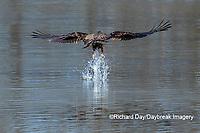 00807-03815 Bald Eagle (Haliaeetus lecocephalus) immature fishing Clinton Co. IL
