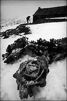 Europe/France/Auvergne/15/Cantal/Paulhac:Massif du Plomb du Cantal  Choux dans un potager en hiver -Potée auvergnate -Parc Naturel Régional des Volcans d'Auvergne