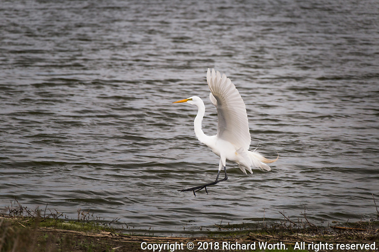 With wings spread wide a Great egret comes in for a landing at Coyote HIlls Regional Park.