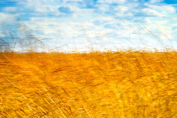 A field of yellow grass against a blue sky