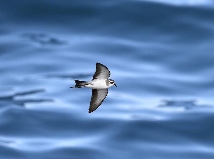 White-faced Storm-petrel - Pelagodroma marina