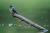 Belted Kingfisher, Megaceryle alcyon,young, Starr County, Rio Grande Valley, Texas, USA, April 2002