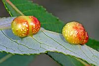 Weidengallenblattwespe, Weidengallen-Blattwespe, Weidenblattwespe, Weiden-Blattwespe, Galle an Reifweide, Salix daphnoides, Pontania acutifolia daphnoides