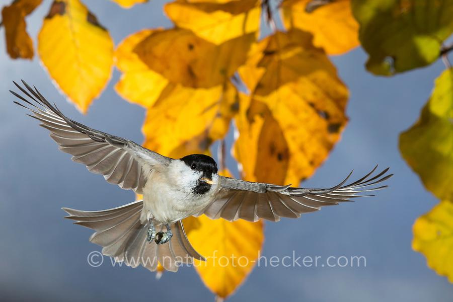 Sumpfmeise, im Flug, Flugbild, fliegend, mit Vogelfutter im Schnabel, Sumpf-Meise, Nonnenmeise, Meise, Meisen, Poecile palustris, Parus palustris, marsh tit, flight, flying, La mésange nonnette