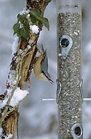 Kleiber, an der Vogelfütterung, Fütterung im Winter bei Schnee, mit Körnern gefüllten Futtersilo, Winterfütterung, Spechtmeise, Sitta europaea, Eurasian nuthatch