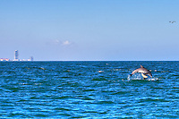 dolphin jumping out of the water at south padre