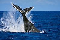 Humpback whale (Megaptera novaeangliae) displaying aggressive caudal peduncle throw behavior near Hawai'i