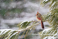 01530-22917 Northern Cardinal (Cardinalis cardinalis) female in pine tree in winter snow Marion Co. IL