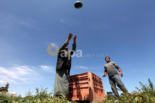Palestinian farmers collect a watermelon crop from their fields in the city of Rafah, Southern Gaza Strip, 21 May 2012. Rafah, a city bordering Israel, is one of the largest agricultural areas in the Gaza Strip. Photo by Majdi Fathi