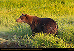 Alaskan Coastal Brown Bear, Male in Sedge Grass at Sunset, Silver Salmon Creek, Lake Clark National Park, Alaska