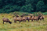 Roosevelt elk<br /> Dry Lagoon  State Park<br /> Humboldt County<br /> California