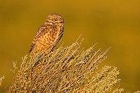 A Burrowing Owl perches upon Sage Brush