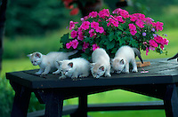 Himalayan tabby kittens on a table with flowers.