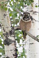 A male Northern Hawk Owl cals in defense of his terriory or to attract a mate.