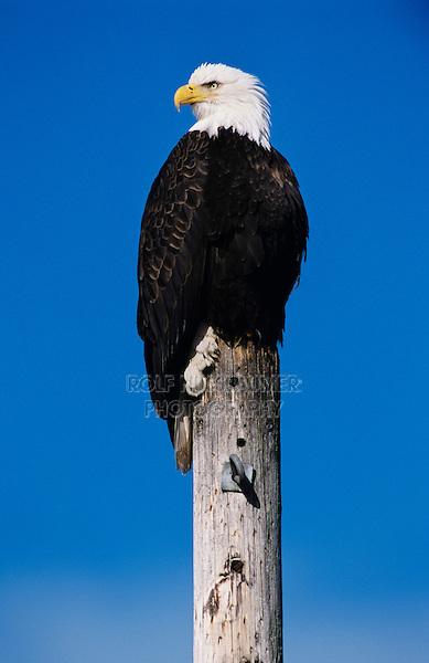 Bald Eagle, Haliaeetus leucocephalus,adult on post, Homer, Alaska, USA, March 2000