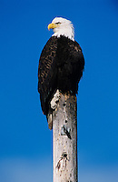 Bald Eagle, Haliaeetus leucocephalus,adult on post, Homer, Alaska, USA, March 2000