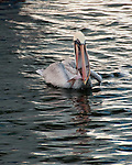A pelican wrestles with how to swallow his catch.  Tarpon Springs, Florida, USA.