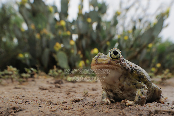 Couch's Spadefoot (Scaphiopus couchii), adult in desert after rain, Laredo, Webb County, South Texas, USA