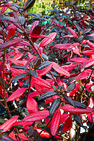Rhododendron 'Landmark' Lepidote smallleaf fall foliage