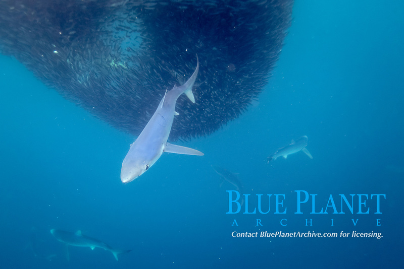 blue sharks, Prionace glauca, feeding on baitball of anchovies, Cape Point, South Africa, Atlantic Ocean