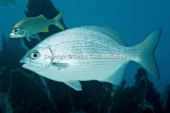 Kyphosus sectatrix, Bermuda sea-chub, Key West, Florida Keys