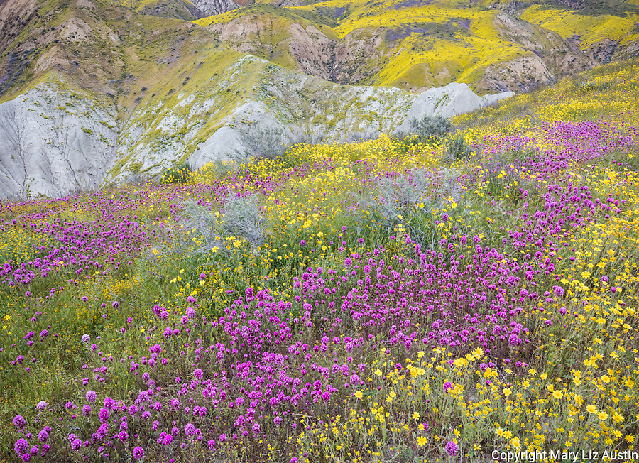 Carrizo Plain National Monument, CA: Yellow flowering monolopia and purple flowering Owl's-clover on the hillsides of the Tremblor Range