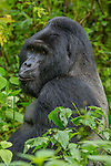 Mountain gorilla, Bwindi Impenetrable National Park, Uganda