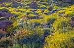 Anza-Borrego Desert State Park, CA: Brittlebush (Encelia farinosa), chuparosa (beloperone californica), phacelia (Phacelia distans) and desert lavender (Hyptis emoryi) flowering among the sandstone boulders and hilllside of Glorieta Canyon