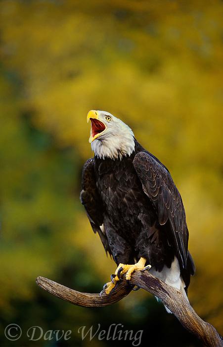 bald eagles hailaeetus leucocephalus are very large fish