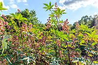 France, Loiret (45), Chilleurs-aux-Bois, château de Chamerolles et jardins d'inspiration renaissance, ici, carré d'ambiance estival ou dominent, lavandes, ricins, palmier de Chine et tournesol