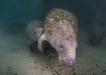 Nursing Manatee calf with Mother