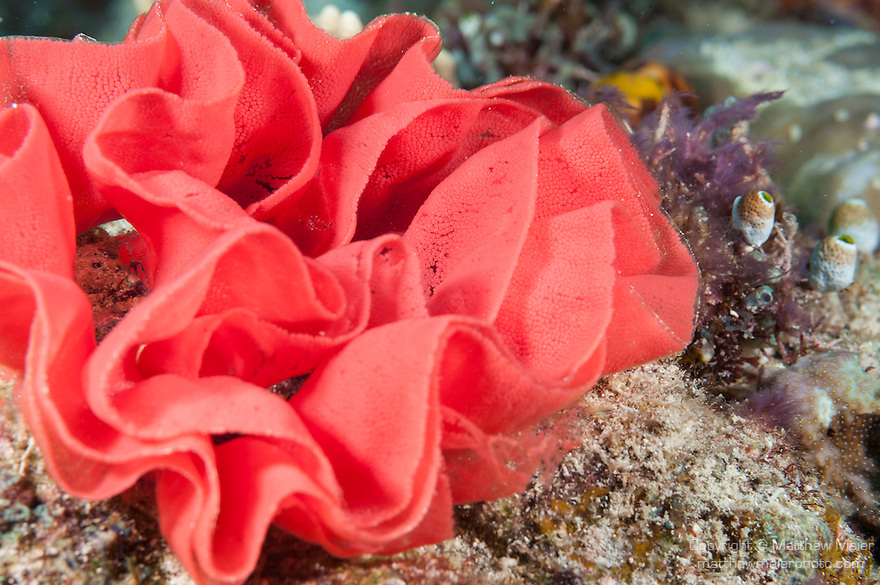 Fakfak Regency, West Papua, Indonesia; a red ribbon of nudibranch eggs anchored to the coral reef
