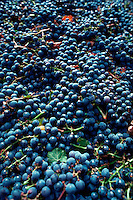 Cabernet grapes harvested for pressing, Napa Valley, California