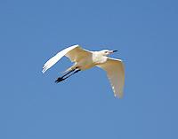 White morph reddish egret in breeding plumage