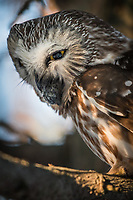 Male Saw-Whet Owl regurgitating an owl pellet near the nest box. Photo by James R. Evans.