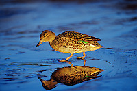 Green-winged Teal hen (Anas crecca) walking on thin ice along edge of pond.